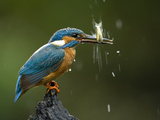 An Adult Male Common Kingfisher  Alcedo Atthis  Shaking a Live Fish