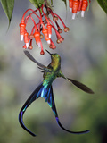 Violet-Tailed Sylph (Aglaiocercus Coelestis) Hummingbird  Heath (Ericaceae)  Andes  Ecuador