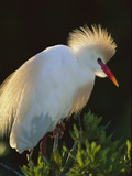 Cattle Egret (Bubulcus Ibis) in Breeding Plumage  Florida