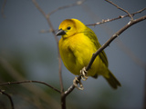 A Taveta Golden Weaver  Ploceus Castaneiceps  at the San Antonio Zoo