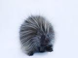 Portrait of a Porcupine  Erethizon Dorsatum