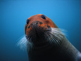 Bearded Seal (Erignathus Barbatus) with Head Stained Red  Svalbard  Norway