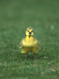 Canada Goose (Branta Canadensis) Gosling  Long Island  New York