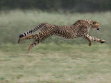 Cheetah (Acinonyx Jubatus) Running  Cheetah Conservation Fund  Otijwarongo  Namibia