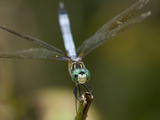 Portrait of a Dragonfly Perched on the End of a Twig