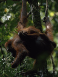 A Baby Orangutan  Pongo Pygmaeus  Clings to its Mother Eating Leaves