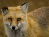 Close Up Portrait of a Red Fox  Vulpes Vulpes