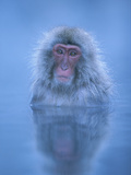 Japanese Macaque (Macaca Fuscata) Bathing in Hot Springs  Joshinetsu Plateau Nat'l Park  Japan