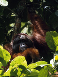 Adult Male Orangutan  Pongo Pygmaeus  in a Tree
