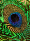 Close Up of a Peacock Tail Feather
