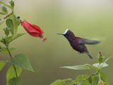 Snowcap (Microchera Albocoronata) Hummingbird Male Foraging  Costa Rica
