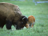 American Bison (Bison Bison) Female Playing with Calf  Yellowstone Nat'l Park  Montana