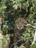 Jaguar (Panthera Onca) in Dense Forest  Pantanal  Brazil