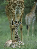 Giraffe (GiraffaCamelopardalis) Calf and Mother  NgorongoroConservation Area  Tanzania  East Africa