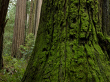 Old Growth Trees in Jedediah Smith Redwoods State Park