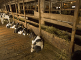 Calves Being Raised for Veal are Protected from the Cold in a Barn
