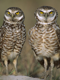 Burrowing Owl (Athene Cunicularia) Pair on Sand Mound Near Burrow Entrance  Florida