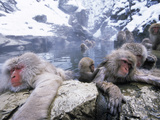 Japanese Macaque (Macaca Fuscata) Group Soaking in Hot Springs  Japan
