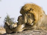 African Lion (Panthera Leo) Cubs Playing with Adult Male  Masai Mara Nat&#39;l Reserve  Kenya
