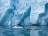 A Polar Bear Swims in Front of a Glacier