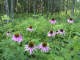 Cone Flowers Grow in the Forest