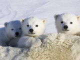 Polar Bear (Ursus Maritimus) Cubs Peeking over Mother  Wapusk Nat'l Park  Manitoba  Canada