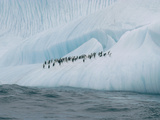 Chinstrap Penguin (Pygoscelis Antarctica) Group on Iceberg  Palmer Peninsula  Antarctica