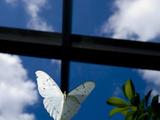 Captive White Morpho Butterfly  Morpho Polyphemus
