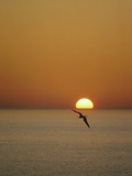 Magnificent Frigatebird (Fregata Magnificens)  Isabella Island  Galapagos Islands  Ecuador