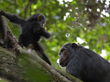 Chimpanzees Resting High in the Forest Canopy