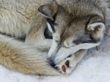 A Siberian Husky Sled Dog with Thick Fur Sleeping on the Snow and Ice
