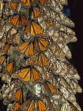 Monarch (Danaus Plexippus) Butterfly Cluster  Michoacan  Mexico
