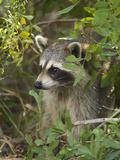 Raccoon (Procyon Lotor) Individual  Florida