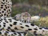Cheetah (Acinonyx Jubatus) Six Day Old Cubs Resting on Mother&#39;s Leg  Maasai Mara Reserve  Kenya