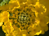 Close Up Detail of Radial Symmetry in a Yellow Flower