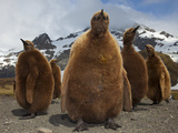 A Group of Oakum Boys  Juvenile King Penguins