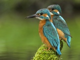 Adult Common Kingfisher Couple  Alcedo Atthis  on a Mossy Branch