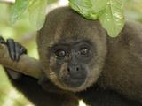 Humboldt's Woolly Monkey (Lagothrix Lagotricha) Portrait  Amacayacu Nat'l Park  Colombia