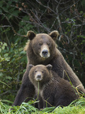 Grizzly Bear (Ursus Arctos Horribilis) Mother and 6 to 8 Month Old Cub  Katmai Nat'l Park  Alaska
