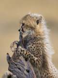 Cheetah (Acinonyx Jubatus) Six to Eight Week Old Cub  Maasai Mara Reserve  Kenya