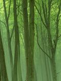 Morning Mist in the Early Summer  Jasmund National Park  Ruegen  Germany