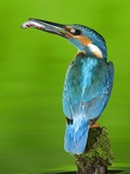 An Adult Male Kingfisher  Alcedo Atthis  with a Fish in its Beak