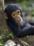 Chimpanzee (Pan Troglodytes) Baby Against a Tree  Endangered  Gombe Stream Nat'l Park  Tanzania