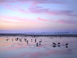 Shorebirds Foraging at Sunset  Pismo Beach  California