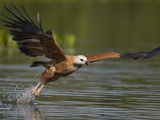 Black-Collared Hawk (Busarellus Nigricollis) Fishing  Pantanal  Brazil