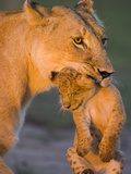 African Lion (Panthera Leo) Mother Carrying 5 to 6 Week Old Cub  Masai Mara Nat'l Reserve  Kenya