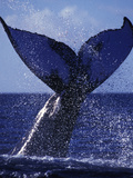 A Humpback Whale Slams its Tail Sending Sound Waves to Attract a Mate