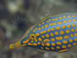 A Brightly Spotted Long-Nosed Filefish