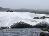 Brown Bear (Ursus Arctos) Pair Walking over Snowbank  Kamchatka  Russia