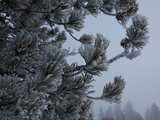 A Snow Covered Evergreen Tree in Upper Geyser Basin